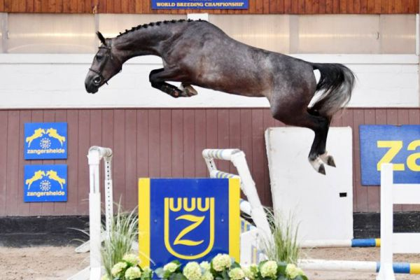 € 42,000 for Balou du Reventon daughter at Zangersheide.Auction!