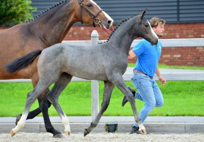 Charme Z auction topper of 3rd online foal auction!